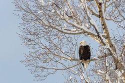 bald, eagle, winter, tree, Tetons, Grand Teton