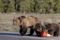 blondie, grizzly, bear, cub, grand teton, photo, image, spring, 2018, Tetons