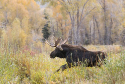 aspen, moose, autumn,