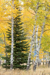 A Green Pine in Yellow Aspen