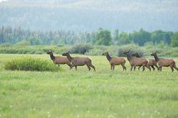 Watchful Elk
