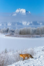 fox, owbow bend, winter, Tetons, Grand Teton