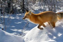 Fox, winter, Tetons, Grand Teton