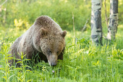 610, grizzly, 399, subadult, grizzlies, cub, quad, summer, grand teton, , Tetons