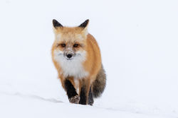 Fox, winter, snow, Tetons, Grand Teton