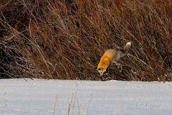 fox, winter, hunting, Tetons, Grand Teton