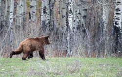 399 cub, grizzly, bear, Tetons, Grand Teton