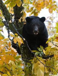 Beeched Bear