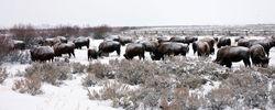 grand teton, bison, winter, december 2015, photograph, image, Tetons