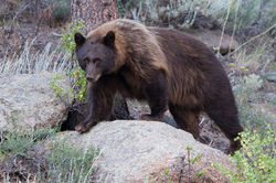 black bear, rmnp, sprague lake