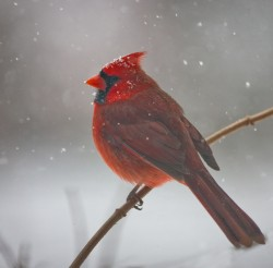 cardinal, bird, virginia, snow