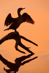 cormorant, sunrise, kiawah, ibis pond