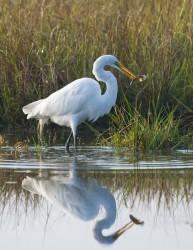 egret, fish, kiawah