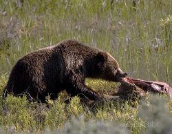 Feeding Grizzly