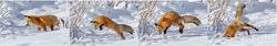 fox, panorama, jump, hunt, winter, snow, Tetons, Grand Teton
