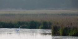 egret, marsh, Kiawah, south carolina