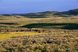 Hayden Valley, yellowstone, bison