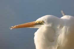 great white egret, kiawah, south carolina
