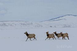 Running Elk II