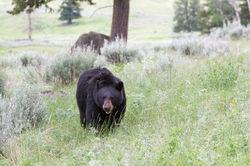 Black Bear in Meadow