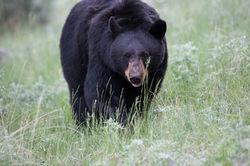 Tower Bear