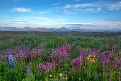 Snaefellsness Meadow