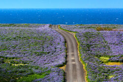 A Dirt Road Amidst the Lupines