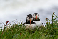 Puffins at Cape Dyrholaev
