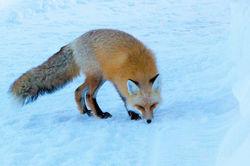 december 2015, fox, Tetons, Grand Teton