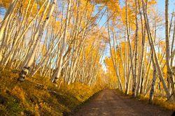 A Road Through the Aspens