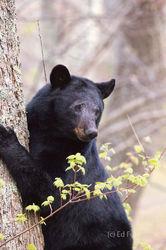Blear Bear Resolute