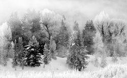 Black and White Cottonwoods