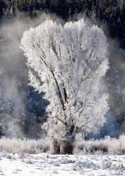 Wintry Cottonwood