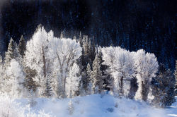Frosted Cottonwoods