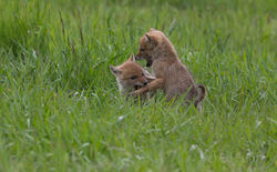 Coyote Pup Play