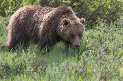 Grizzly Walk