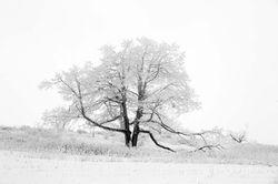 Winter Oak at Big Meadows II