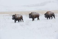 Three Bison March