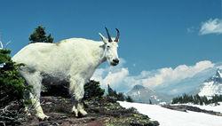 Mountain Goat at Logan Pass
