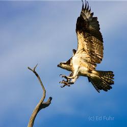 Osprey Landing II