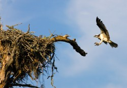 osprey, kiawah, south carolina, nest