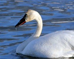tundra swan, tetons, flat creek