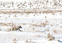 Running White Wolf