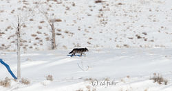 Wolf Departure