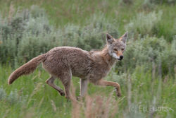 Wily Coyote