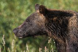 grand teton national park, grizzly bear, 610, cub, photograph, image, 2013, Tetons, Grand Teton
