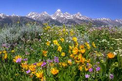 grand teton national park, wildflowers, photograph, image, 2013, Tetons, Grand Teton