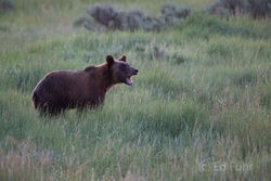 Grand Teton National Park Summer 2013 - Bear Confusion!