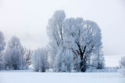 cottonwood, hoarfrost