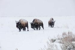 Three Bison On a Walk